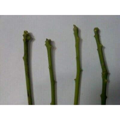 Avocado Tree Cuttings 5 Scions Fresh Cut Fruit Rare MHWK64 : Garden & Outdoor