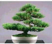 Amazon Com Japanese Black Pine Bonsai Starter Pinus Thunbergii 3 Year Tree Garden Outdoor