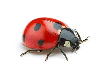 Dragonfli Ladybird Adults - Live Ladybirds for the Natural Control ...