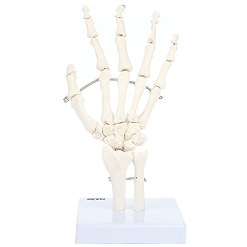 Axis Scientific Skeletal Hand with Wrist, Ulna, and Radius | Fully Articulated Flexible Hand Skeleton is Secured with Wire To Demonstrate Movement | Includes Product Manual | 3 Year Warranty -