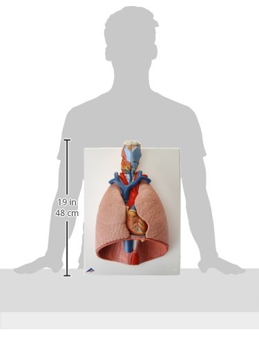 3B Scientific Lung Model with Larynx, 7-Part by 3B Scientific (Image #2)
