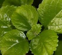 Swedish Ivy - Plectranthus verticillatus - Easy to Grow House Plant - 4