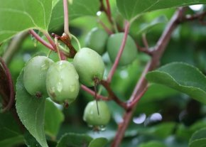 Kiwi 'Issai' - Actinidia arguta 'Issai' - selbstfruchtend und lecker von Native Plants