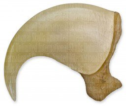 Mountain Lion Claw (6.5cm) (Museum Quality Replica)