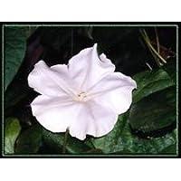 flor de luna, NOCHE VID floración, flor blanca, fragante, 40 semillas #!