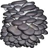 Grey Dove Oyster Mycelium Plug Spawn - 100 Count - Cold Weather Fruiter