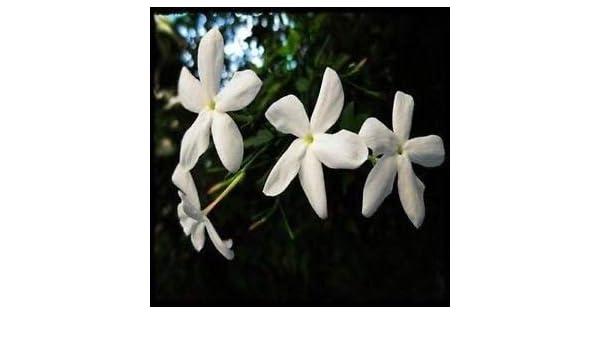 GEOPONICS centeding Jamine Noche (Nicotiana) 400 + semilla: Amazon ...