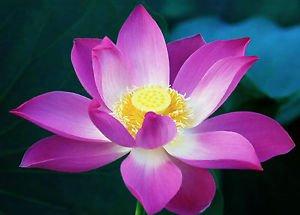 Indian gardening pink lotus waterlily flower seeds 5 seeds indian gardening pink lotus waterlily flower seeds 5 seeds mightylinksfo