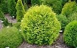 Golden Globe Dwarf Arborvitae ( Thuja ) - Live Plant - Quart Pot