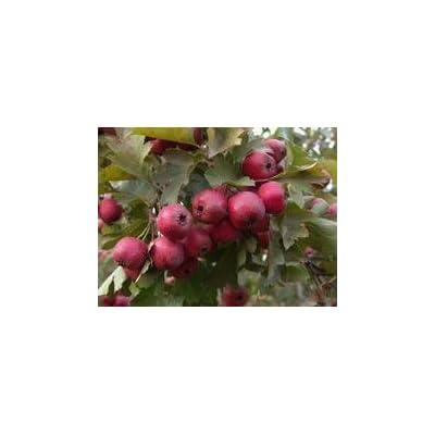 SD0521 Crataegus Pinnatifida Seeds, Chinese Hawthorn Seeds, Hawthorn Seeds, Non-Genetically Modified Seeds (20 Seeds) : Garden & Outdoor
