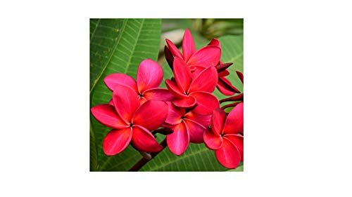 Hawaiian Red Plumeria Plant Cuttings (Pack of 4) Grow Hawaii