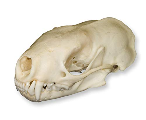 Real Spotted Skunk Skull – Perfect