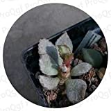 Fotcus - Prodgf 25Pcs A Set Adromischus cooperi Marianiae triflorus lengye alveolatus liebenbergii cr1398 trigynus BM 716 - (Color: schuldtianus)