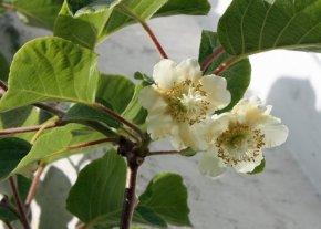 Kiwi Jenny - Actinidia chinensis 'Jenny' - selbstfruchtend / selbstbefruchtend von Native Plants