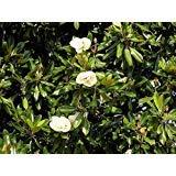 DriedDecor.com Magnolia Leaves - Bulk 2lb Box