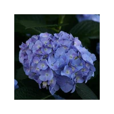 Hydrangea-Lets-Dance-Blue-Jangles - QT Pot (Shrub) : Garden & Outdoor