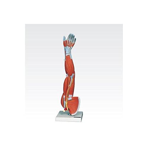 新型上肢模型/人体解剖模型 (6分解) J-114-6   B077JPYVYQ