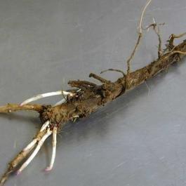 Crystal Hop Roots Rhizomes 2 Pack Grow Hops Brew Beer