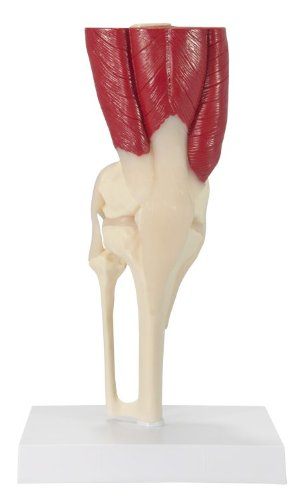 - 1060 - Basic Knee Joint with Muscles - GPI Anatomicals Muscled Joint Models - Each