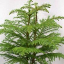 plantsguru Christmas Tree (1-2ft) Hedges & Shrubs at amazon