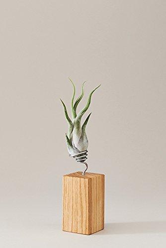 EVRGREEN Luftpflanzen Tisch-Deko Tillandsie mit Design Eichen-Baum-Holz Halter Pflegeleichte Pflanze für Innen - M