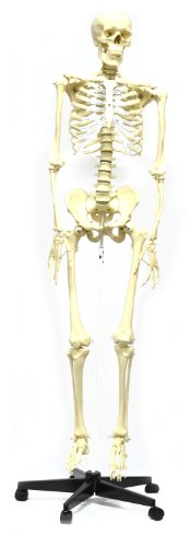 hBARSCI Articulated Life Sized Human Skeleton Model, Articulated Joints, Pelvic Mounted with Wheeled (Life Size Skeleton)