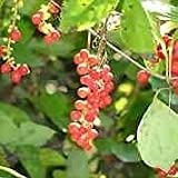 Whole Chamomile Flowers - from Egypt - Matricaria Recutita, Starwest brand, Bulk Herb 1lb