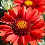 NEW! 30+ GAILLARDIA BIJOU FLOWER SEEDS / RARELY OFFERED PERENNIAL