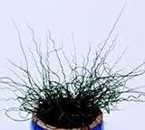 Grasses - Juncus Effusus Spiralis - 15 Seeds