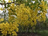 Cassia fistula GOLDEN SHOWER TREE golden yellow flowers SEEDS!