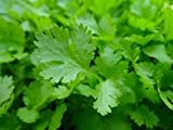 "LIVE, ORGANICALLY GROWN FLAT LEAF PARSLEY, GROWN IN 3.5"" POT"