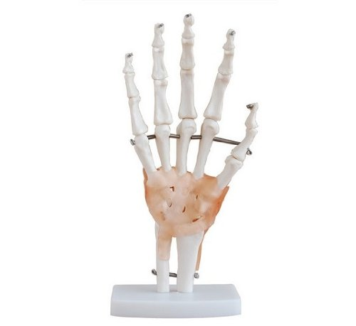 MoreDental Human 1:1 Size Hand Joint Bone Simulation Model Medical Anatomy Type:YR-H-XC-114A