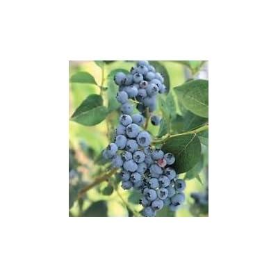 50+ HIGHBUSH Blueberry PRE-STRATIFIED Seeds Free USA Shipping : Garden & Outdoor
