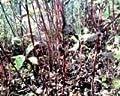 "4 Red Osier Dogwood (Cornus sericea (stolonifera)) 6-12"" seedlings"