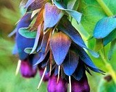 25+ CERINTHE BLUE SHRIMP PRIDE OF GIBRALTER FLOWER SEEDS/SELF SEEDING