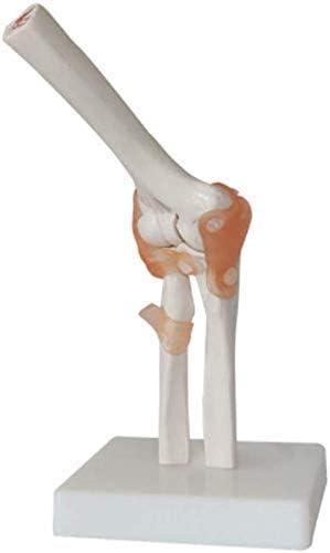 Modellichaam Menselijk torso Model Educatief model van gewrichtsskelet Menselijke elleboog Anatomisch lichaam