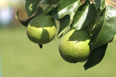 Bartlett Pear Trees