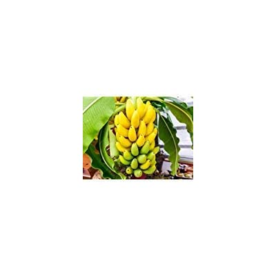 100pcs/bag Potted banana seeds bonsai Organic fruit seeds Healthy and nutritious food fruits dwarf banana plant for home garden : Garden & Outdoor
