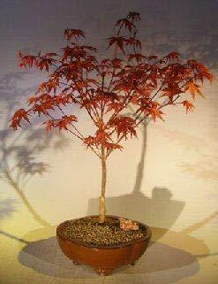(Bonsai Boy's Japanese Red Maple Bonsai Tree Shindeshojo)
