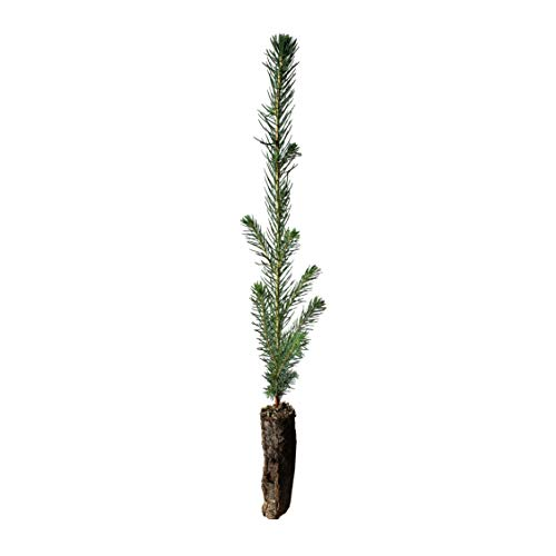 (Sitka Spruce | Small Tree Seedling | The Jonsteen Company)