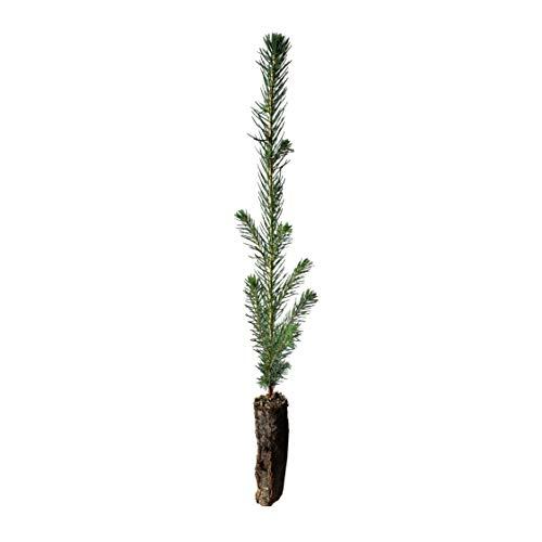 Sitka Spruce | Small Tree Seedling | The Jonsteen Company