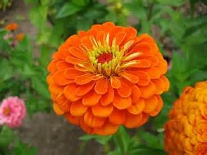 Zinnia Seeds Orange Lilliput 50 Per Packet