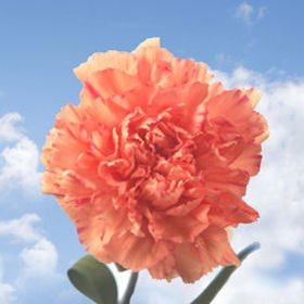 GlobalRose 400 Fresh Cut Orange Carnations - Fresh Flowers Wholesale Express Delivery by GlobalRose (Image #2)