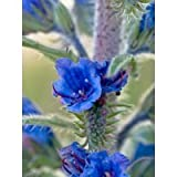 100 VIPERS BUGLOSS Echium Vulgare Blue Flower Seeds *Comb S/H