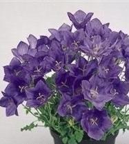 - Campanula - Carpatica Deep Blue Clips - 50 Seeds
