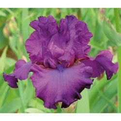 1 Tall Bearded Iris Vicar - Large Rhizome, size #1 - Immediate Shipping!