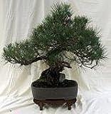 Classic Japanese Black Pine Bonsai