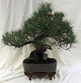 Classic Japanese Black Pine - Japanese Pine Bonsai Black