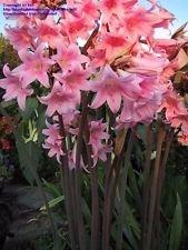 Amazon pink amaryllis s africanspider lilynaked lady pink amaryllis s africanspider lilynaked lady miracle flower bulbs mightylinksfo