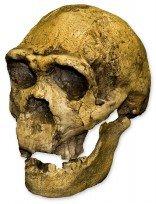 Homo ergaster KNM ER 3733 Skull (Teaching Quality Recreation) by Skulls Unlimited International (Image #1)